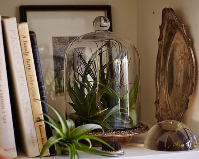 air plants tillandsias under cloche l Gardenista
