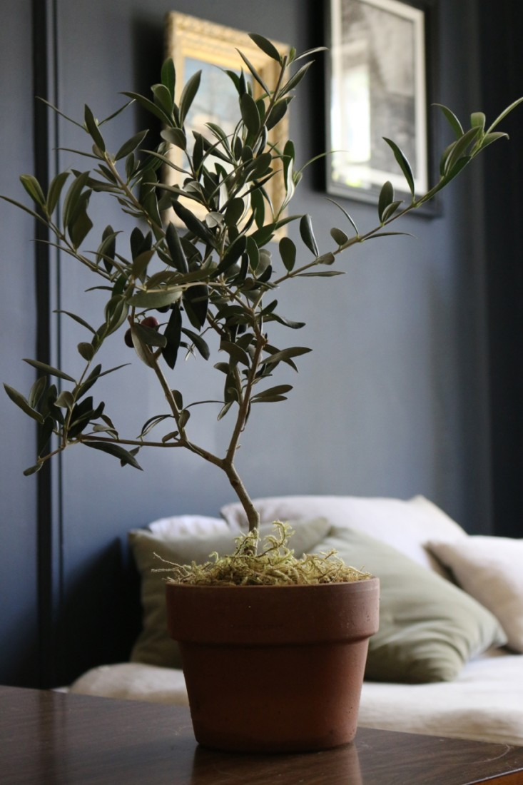Gillian gillies 39 s interiors blog musings about all for Olive trees in pots winter care