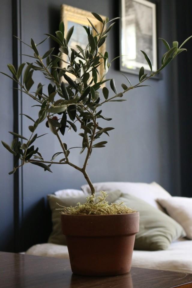 Miniature Olive Tree, Gardenista